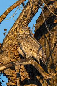 SK_2019_11_11 Owls 800 0642dncr.jpg