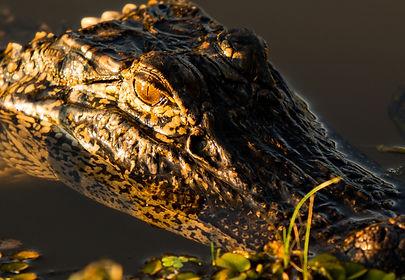 Gator's Gaze-4183.jpg
