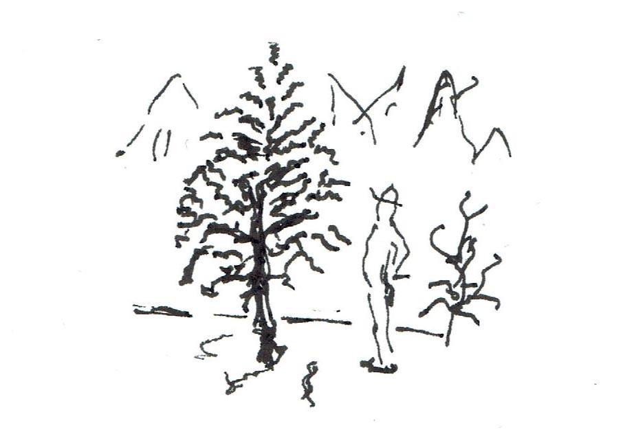 Ekki er æskilegt að uppkvista sígræn tré hærra en 1/3 af heildarhæð trés.