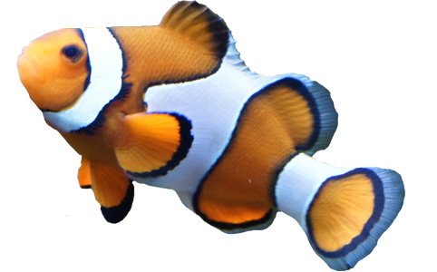 clown-fish-transparent-background