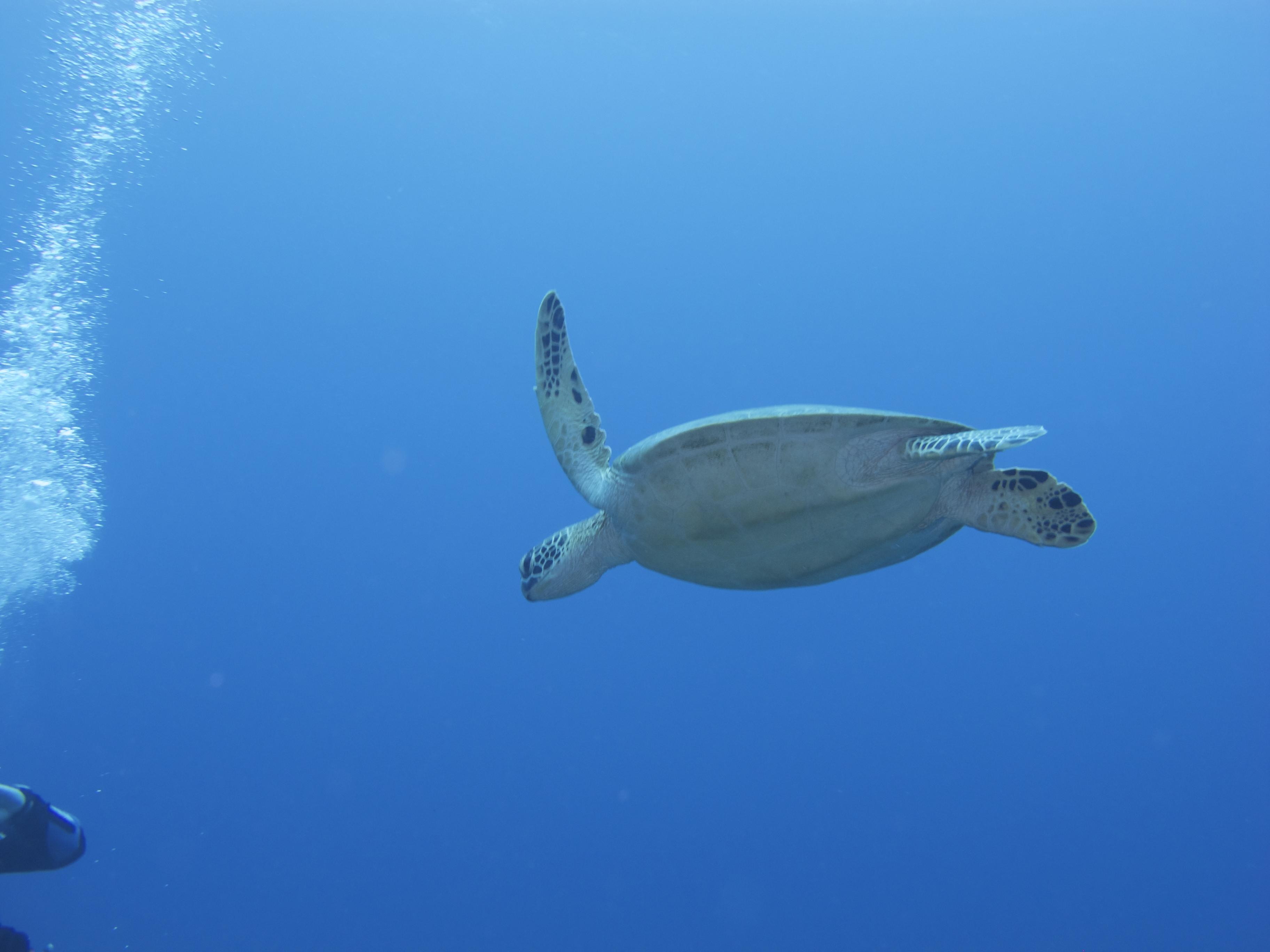 Turtle @ Keramas