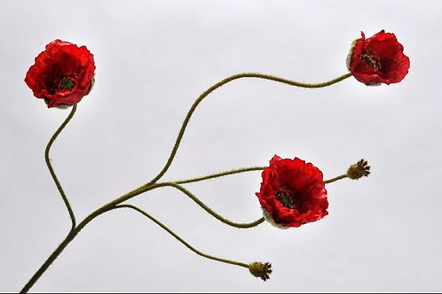 Klaproos tak rood (zijdebloem)