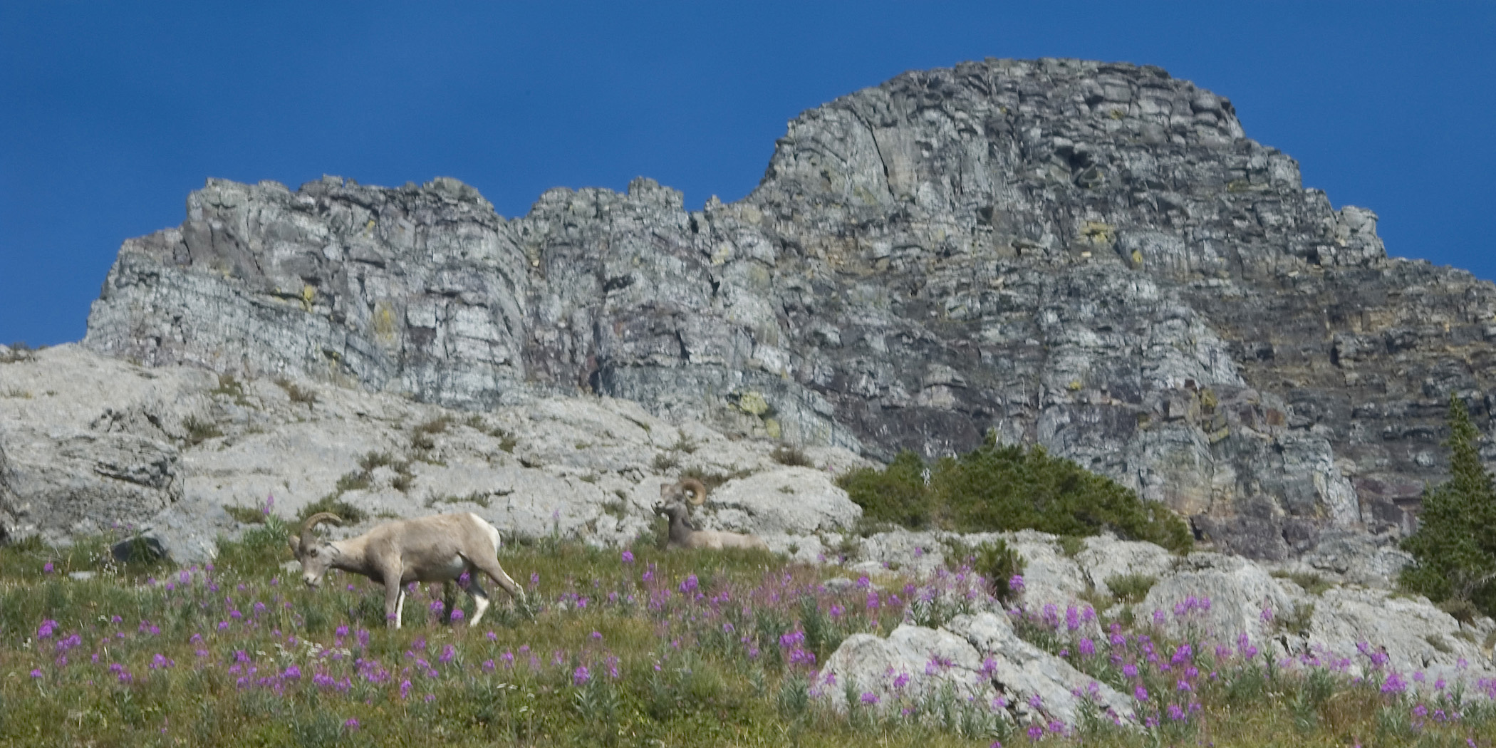 Mountain Goat and Big Horn Sheep