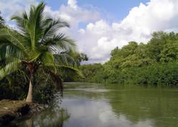 Palm Trees and Mangroves (Quepos)