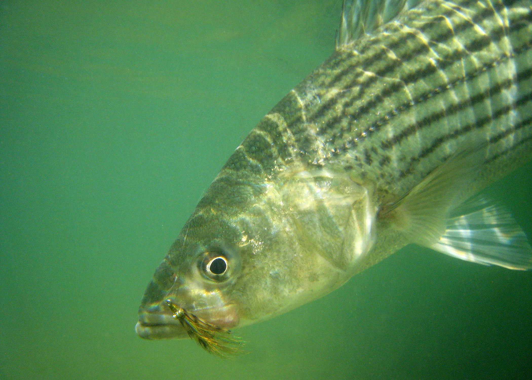 Stripped Bass (Underwater)