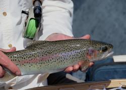 Yakima River Rainbow