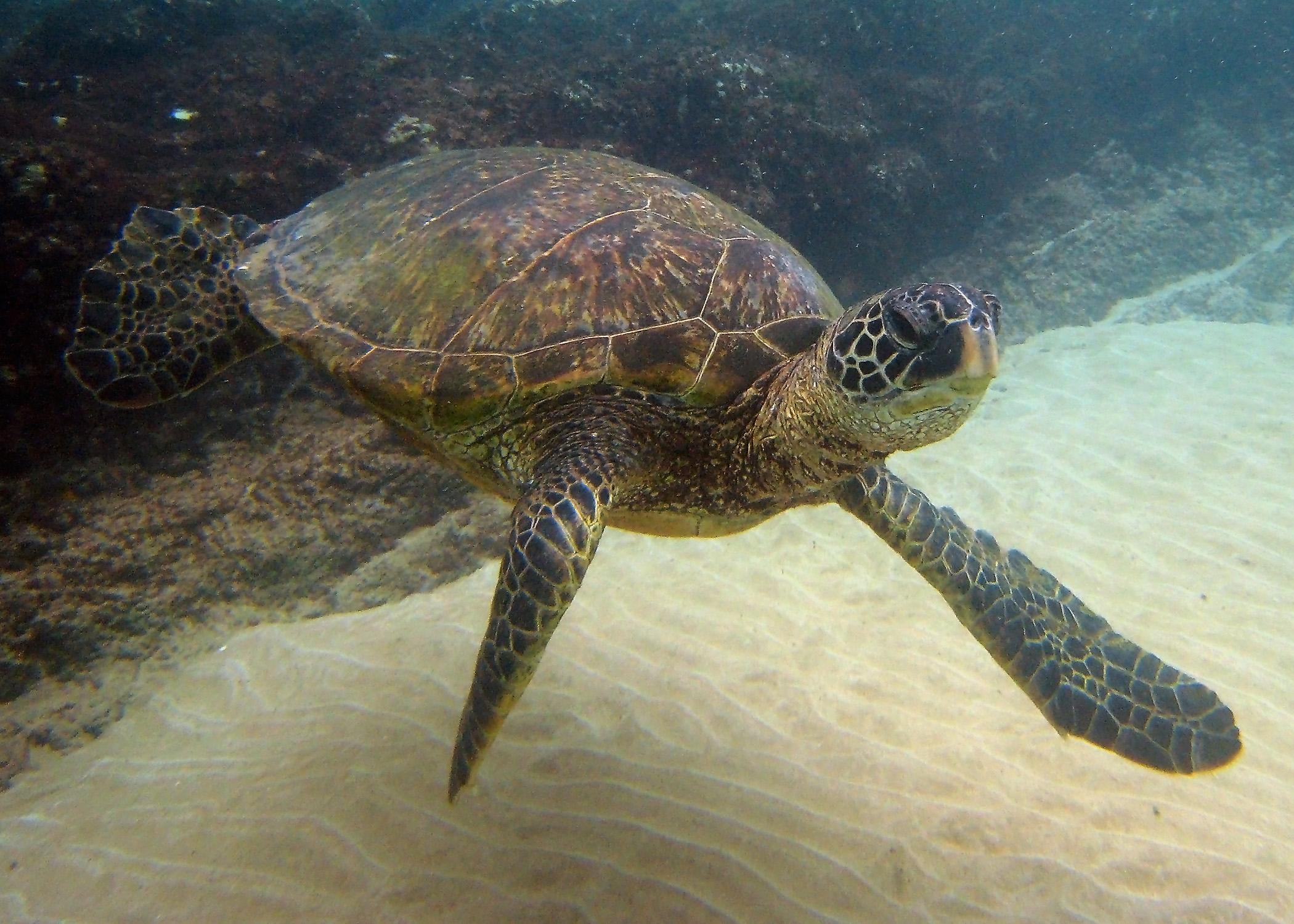 Green Sea Turtle at Maluaka Beach