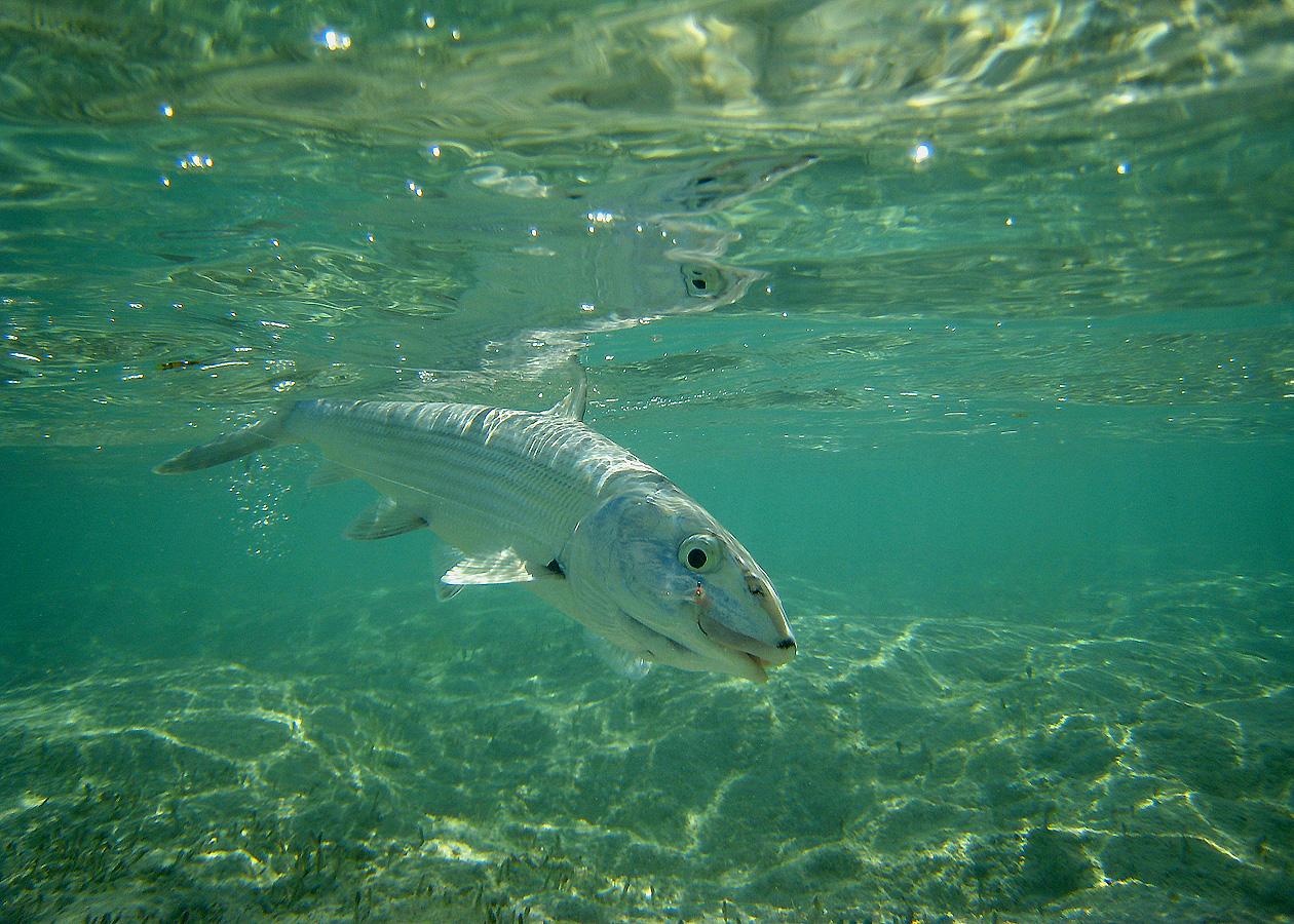 Underwater Bonefish II