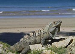 Iguana on Tamarindo Beach