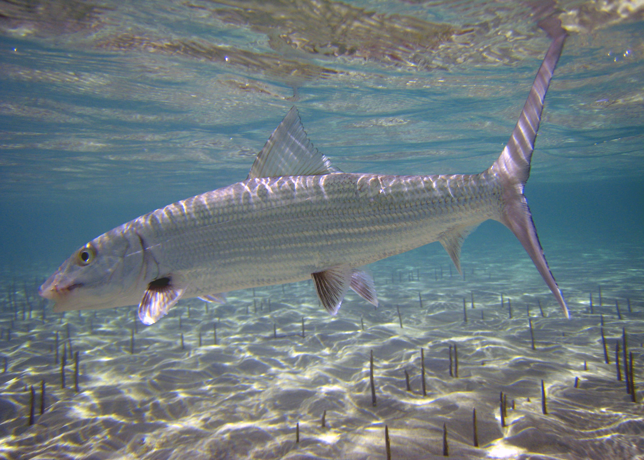 Underwater Bonefish I