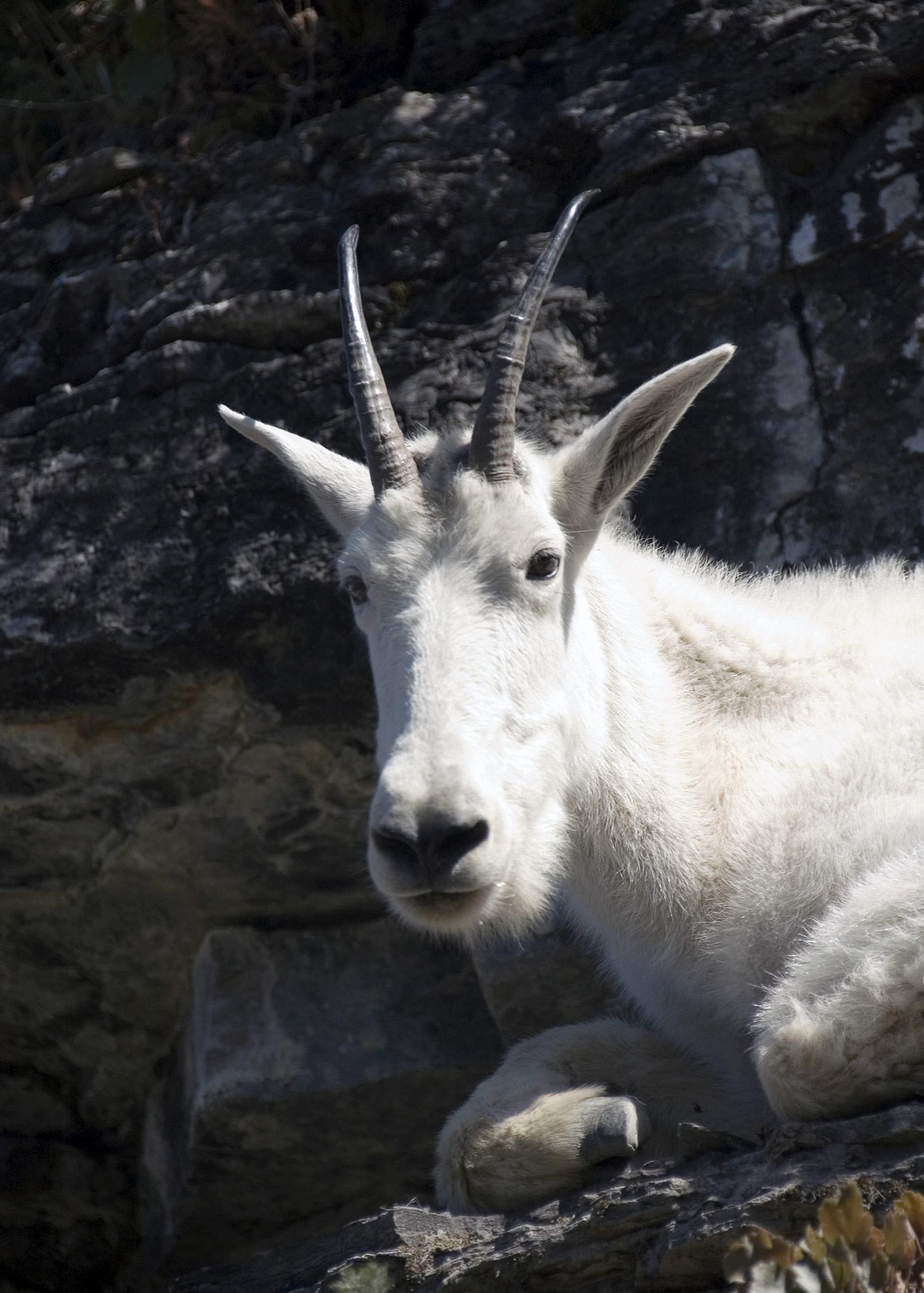 Mountain Goat (GNP)