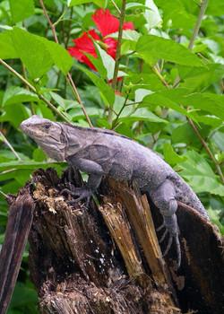 Lizard (Manual Antonio)