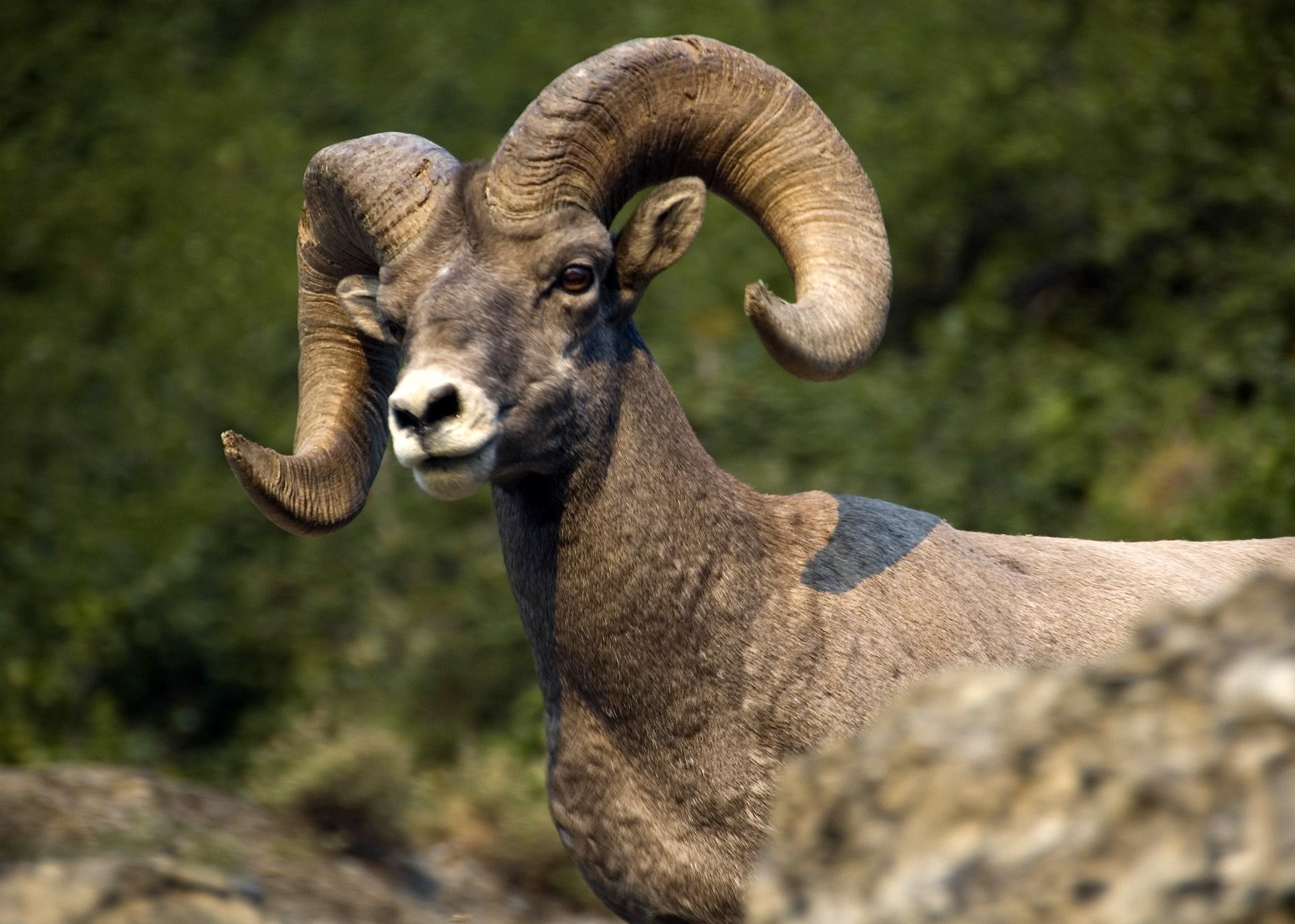 Big Horn Sheep (GNP)