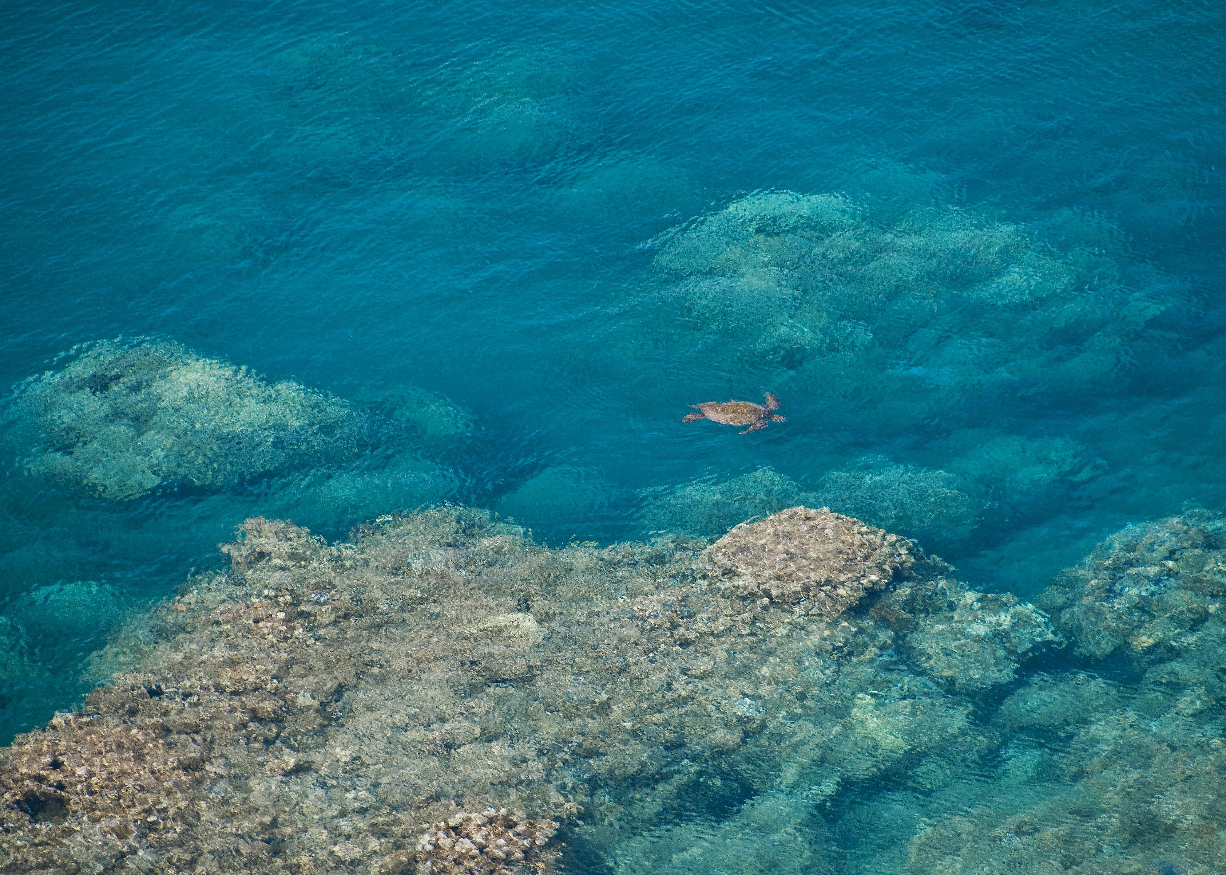 Sea Turtle in Honolua Bay