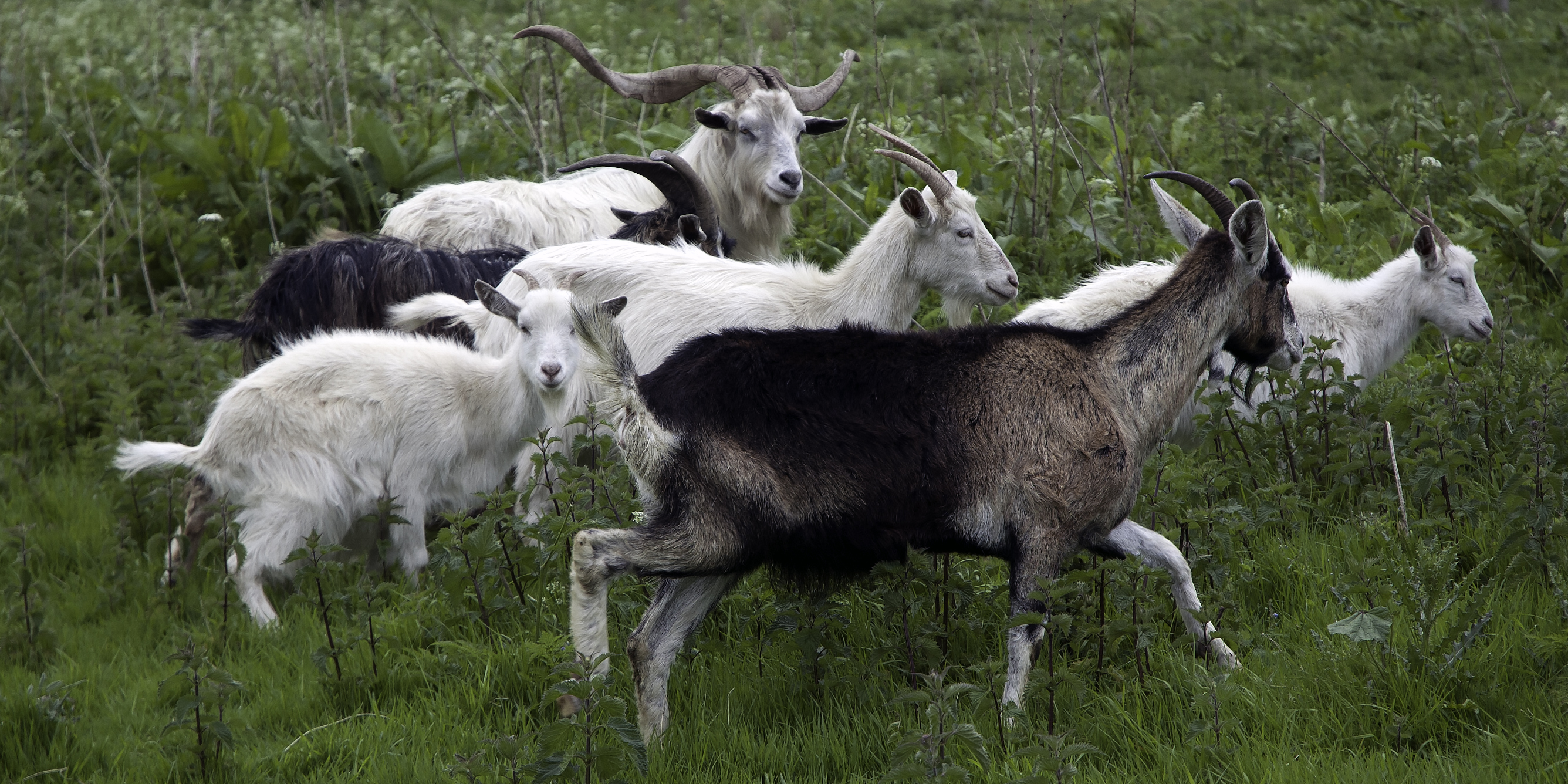 Goats in the Farm Lands