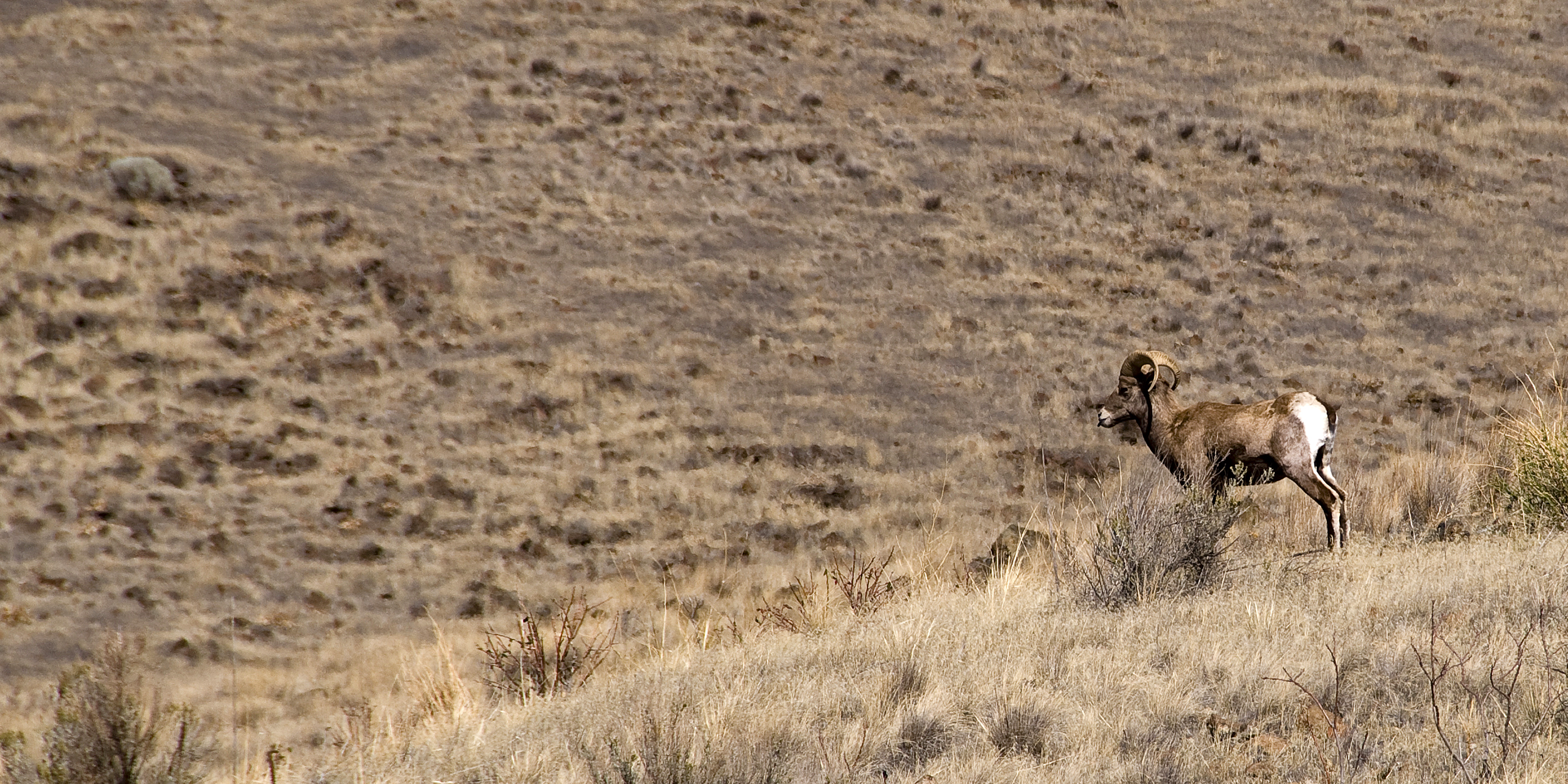 Big Horn Sheep (Yakima Canyon)