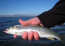 Sea Run Cutthroat (Puget Sound)