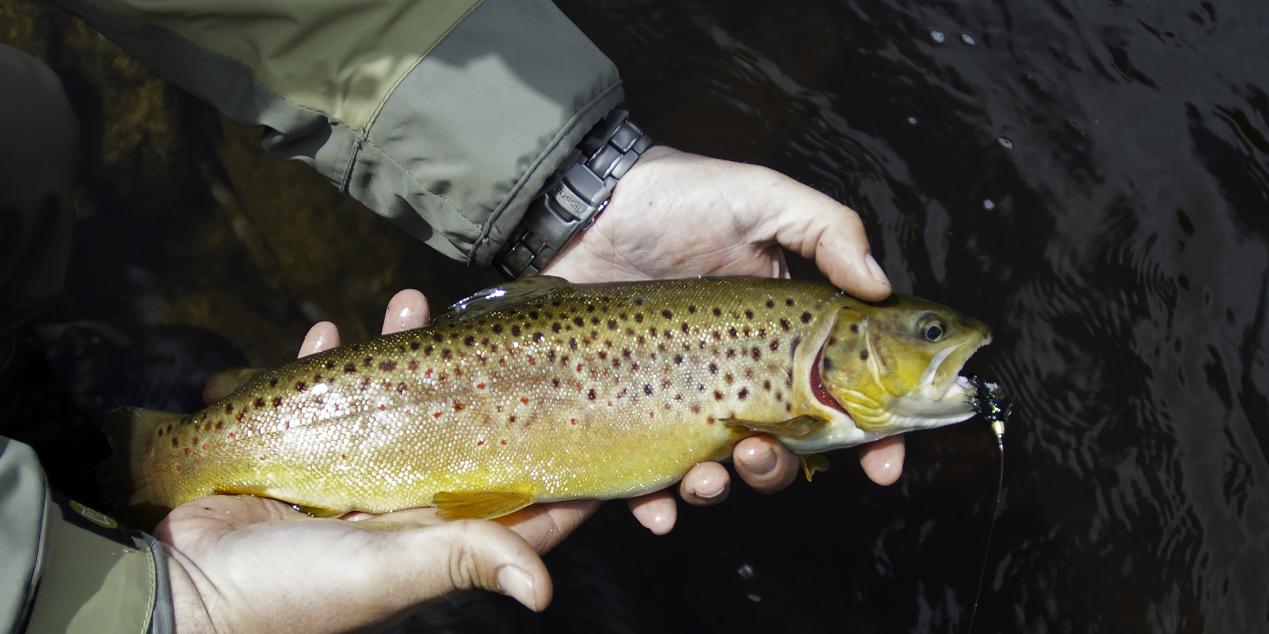 A Beautiful Brown Trout