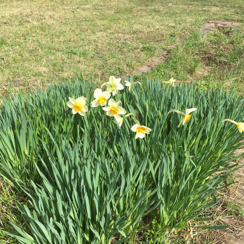 There are daffodils of all variations. All yellow, yellow and white, and even some glorious smelling paper whites.