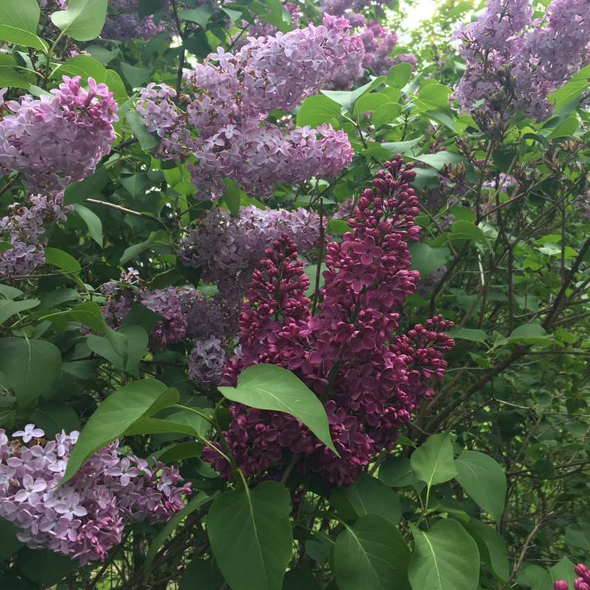 Oh how I love lilacs! One of my favorite scents.