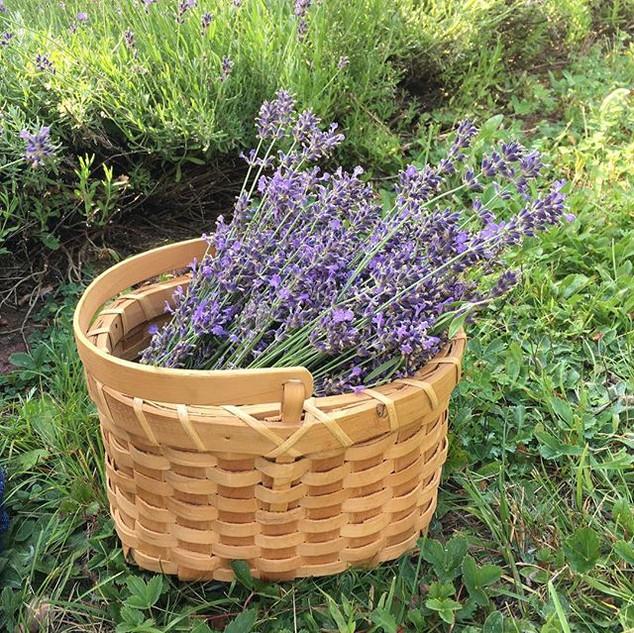 Lots of lavender