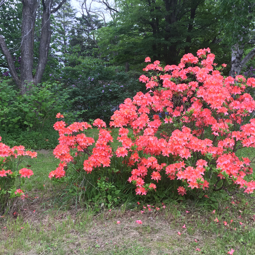 Beautiful azaleas!