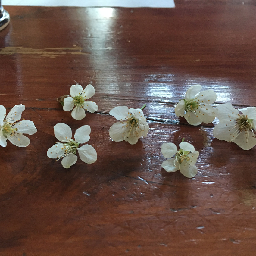 Comparing apple and cherry blossoms. The apple petals are more round, and have smooth edges, where the cherry blossoms have skinnier, pointier petals.