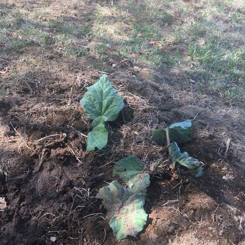I found rhubarb growing in a damp, shady spot and transplanted them at the top of the hill.