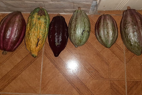 Dry Cocoa Pods