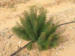 Isopogon - Curly - Field