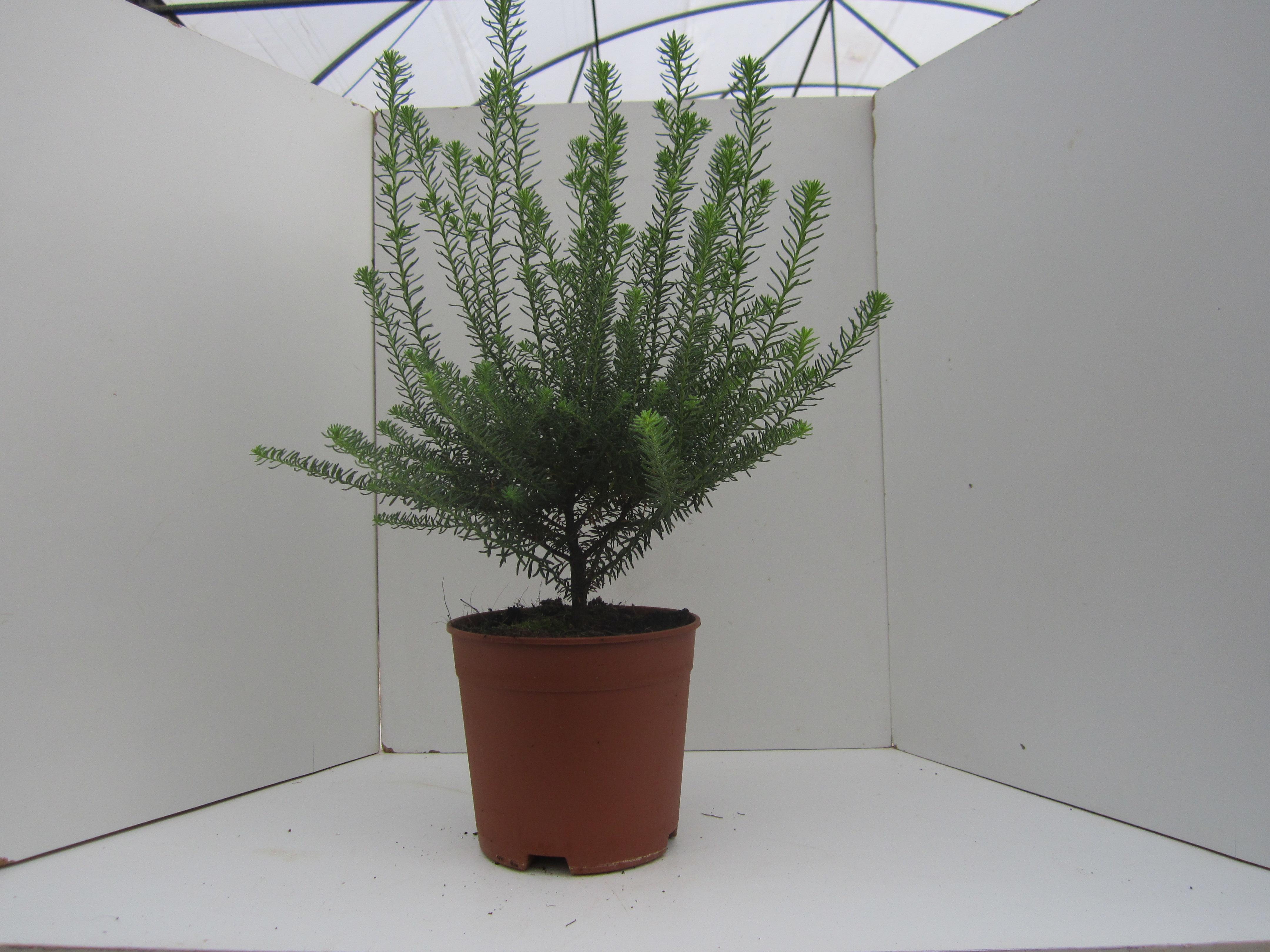 Rice Flower - Nophar