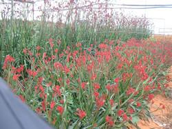 Red Lead field