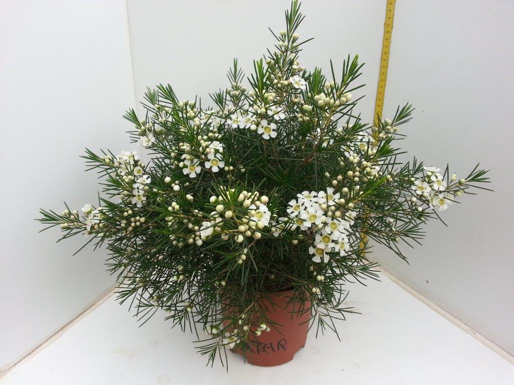 Wax Flower - Atar