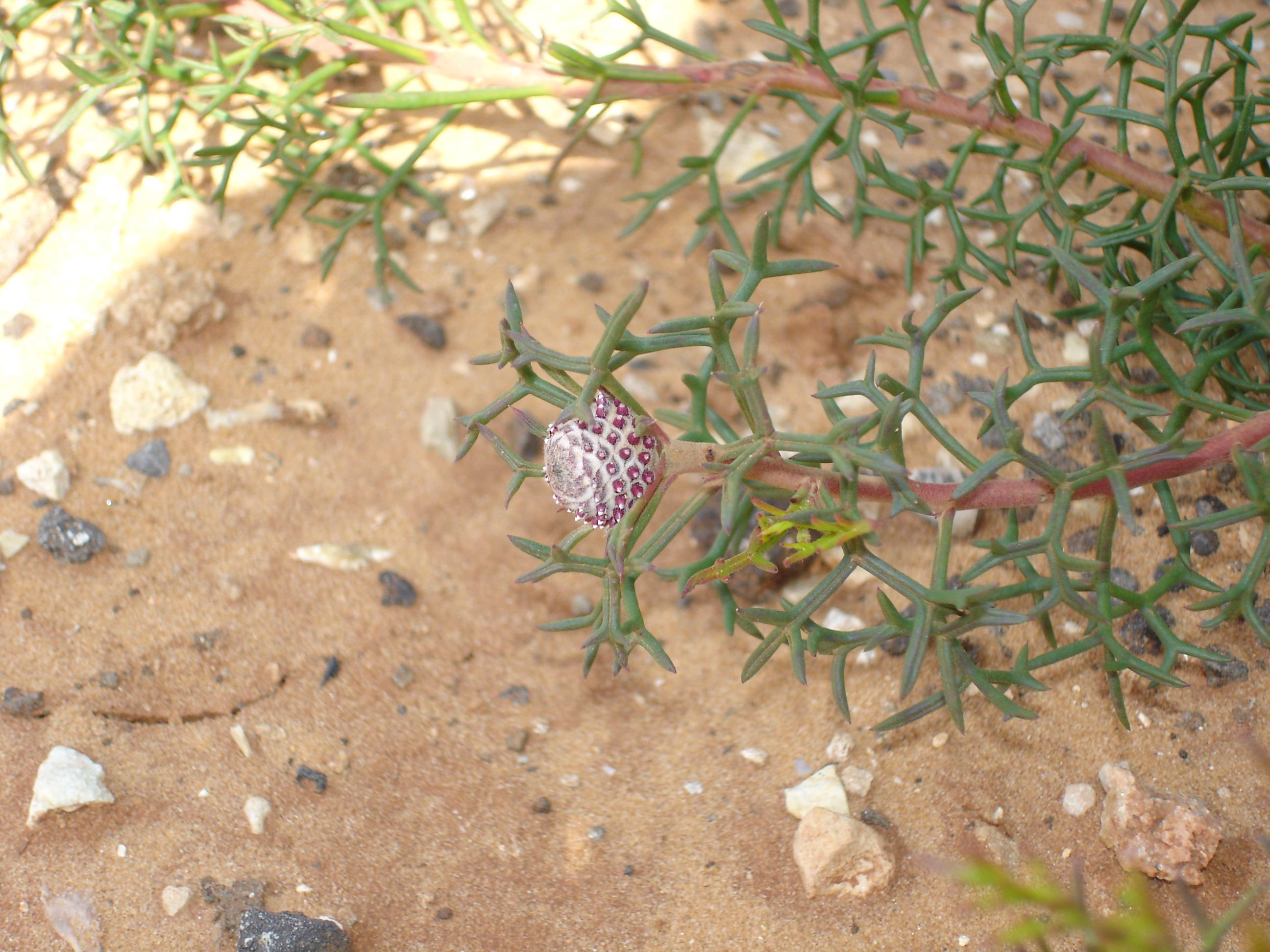 Isopogon bulb