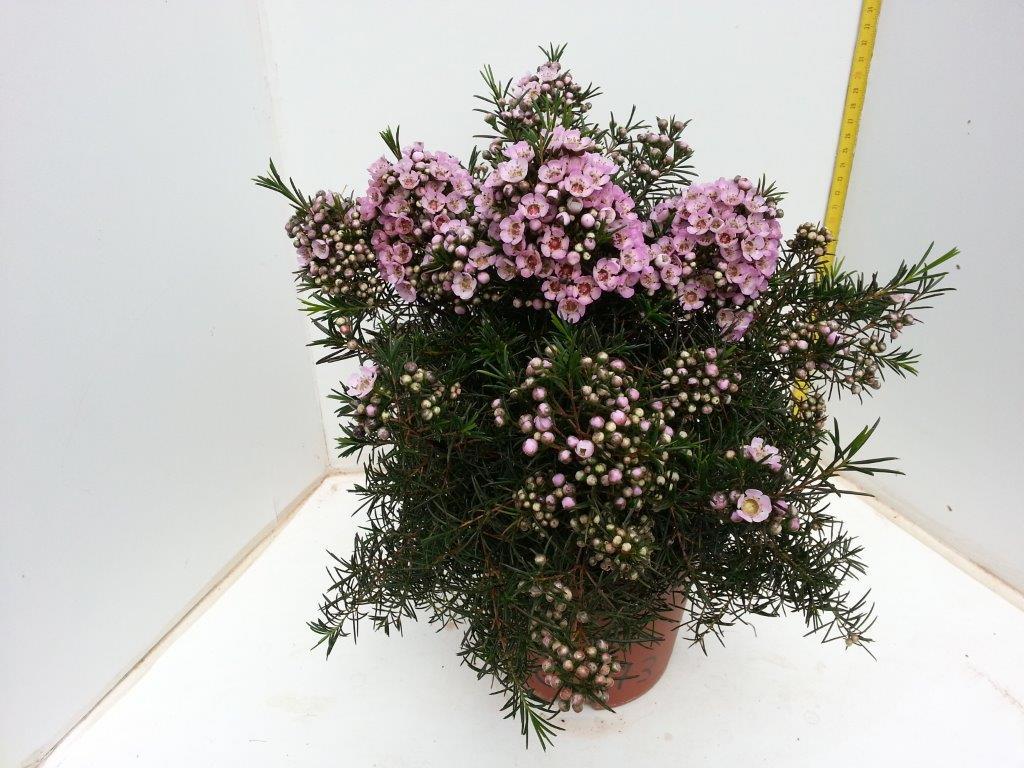 Wax Flower - Calisto