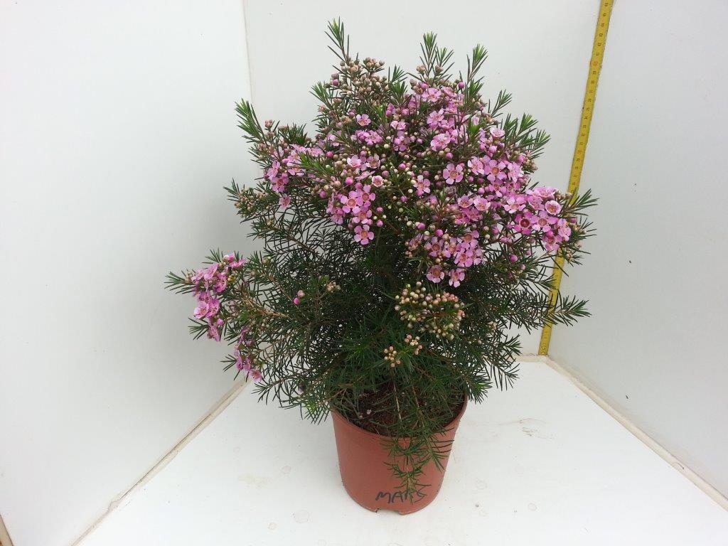 Wax Flower - Mars