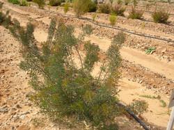 Isopogon foliage