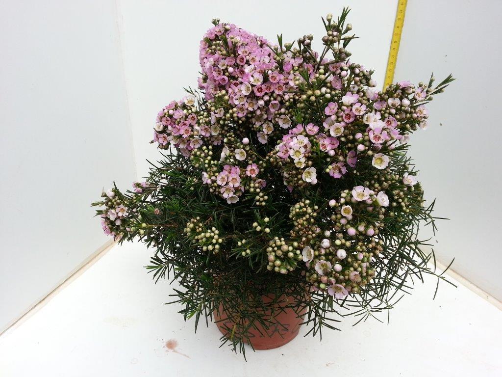 Wax Flower - Polaris