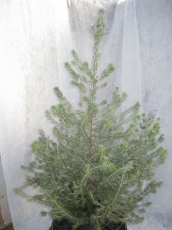 """Chris Tal- """"Christmas Tree"""""""