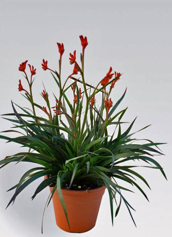 Anigozanthos - Red Lead