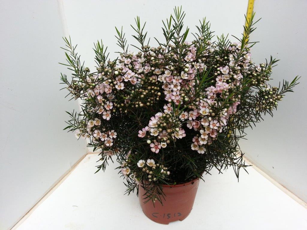 Wax Flower - Neptun