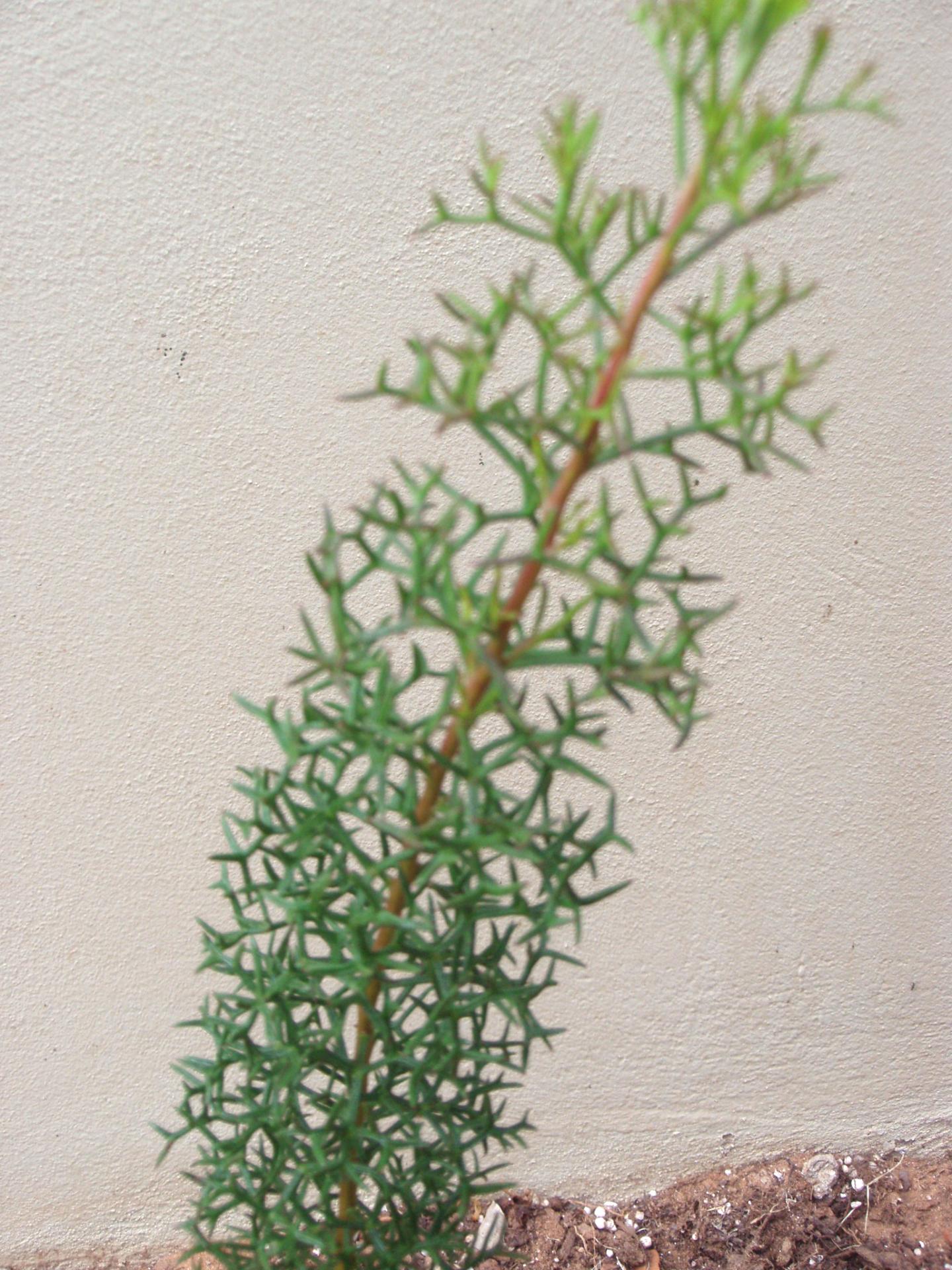Isopogon - Curly