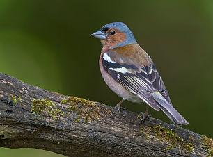 Vogelwarte Sempach Buchfink.jpg