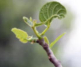 Fig-Nature-Tree-Bloom-Spring-Bud-Branch-Leaves-532747.jpg