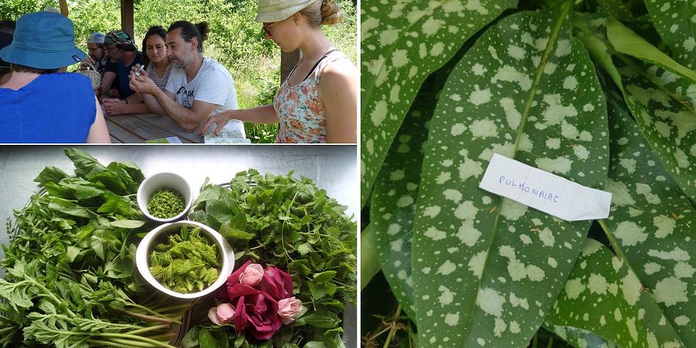 Stage plantes sauvages comestibles en Bourgogne à la Forêt Gourmande (4 jours)
