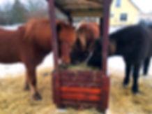 Vores slandske heste spiser hø i vintersæsonen