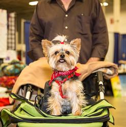 Yorkie in Stroller