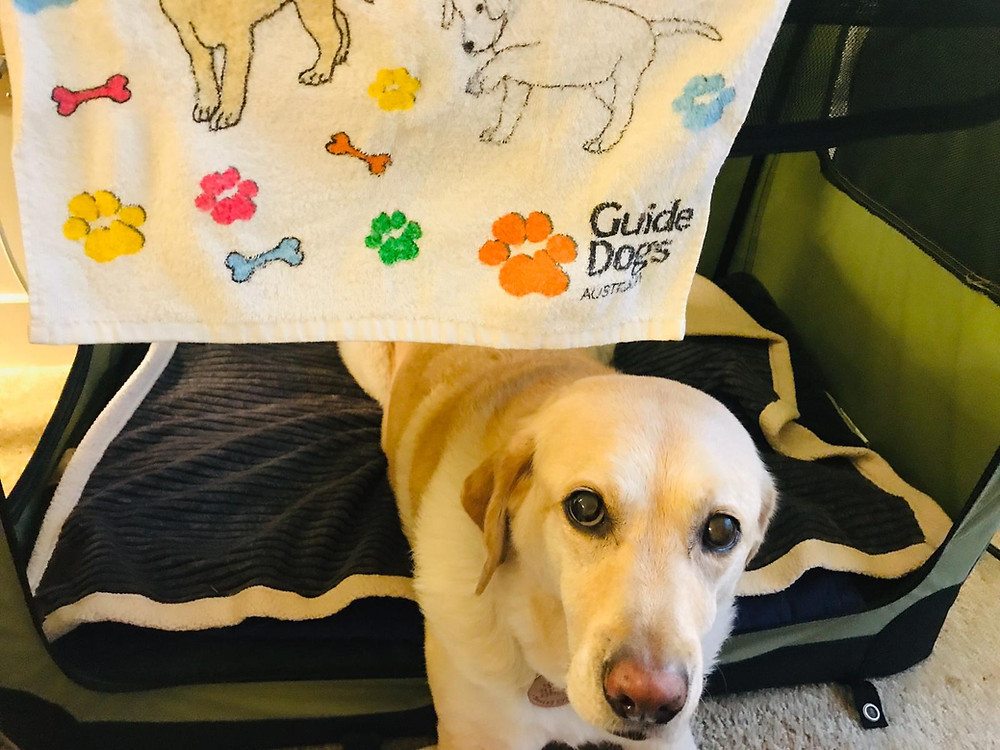 Zoe is lying down in her padded, dark blue dog bed, looking up at the camera inquisitively with her shiny brown eyes. Above her hangs a white towel that says Guide Dogs Australia. The towel is decorated with multicolored paw prints and cartoon dogs.