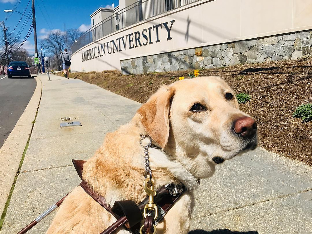 Zoe sitting on the sidewalk in harness with squinty eyes because the sun is shining and the sky in blue. The American University sign is behind her in a large concrete wall that curves along the sidewalk.