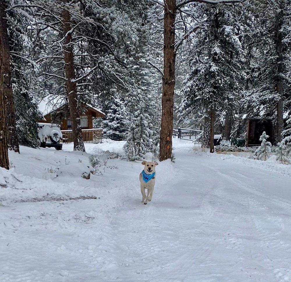 PD: Zoe is running along a snow covered path with her ears flopping in the wind and a big happy smile on her face. Behind her are snow-covered evergreen trees.
